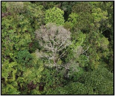 Individual ROD suspect treein UAV imagery.