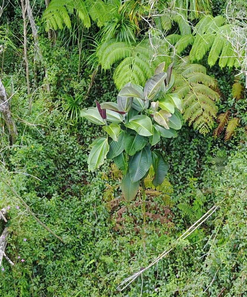 Miconia identified in UAV imagery.
